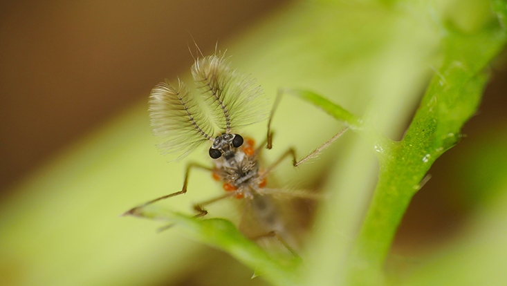 Büschelmücke Männchen mit mitreisenden Milben
