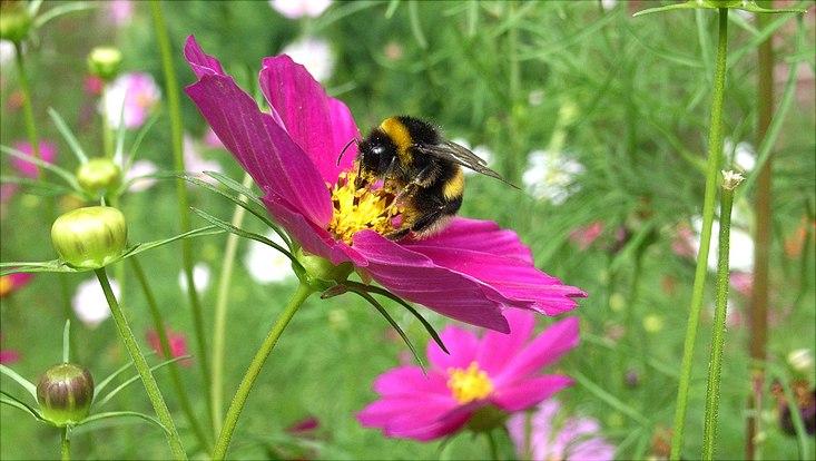 Eine Biene schnuppert an einer lilalen Blume.