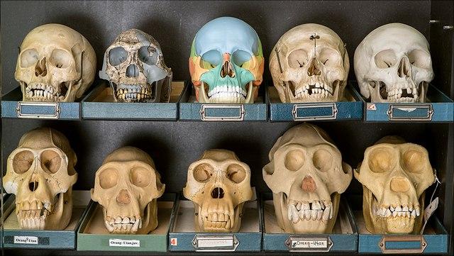 Museumspädagogik Schädel