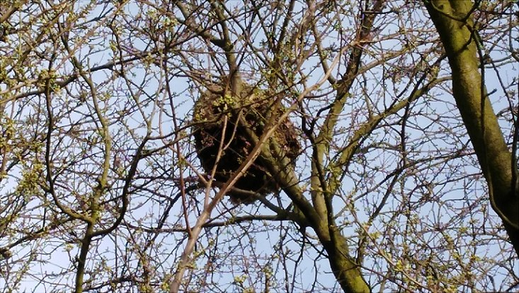 Nest der Hornisse