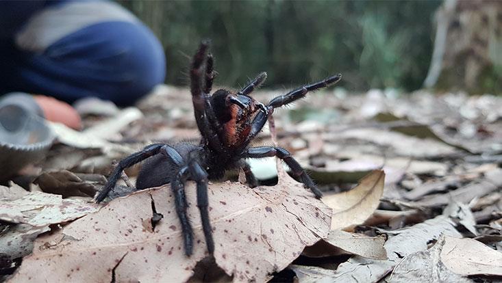 Die Trichternetzspinne (Atrax robustus) lebt mitten in Sydney. Nach dem Guiness-Buch der Rekorde ist sie die gefährlichste Spinne der Welt.